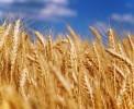 Украина сократила экспорт пивоваренного ячменя