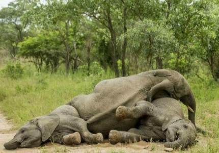 Слоны наелись марулы